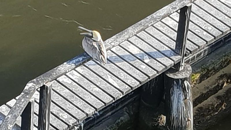Pelican perched on the pier on the way to Tybee Island