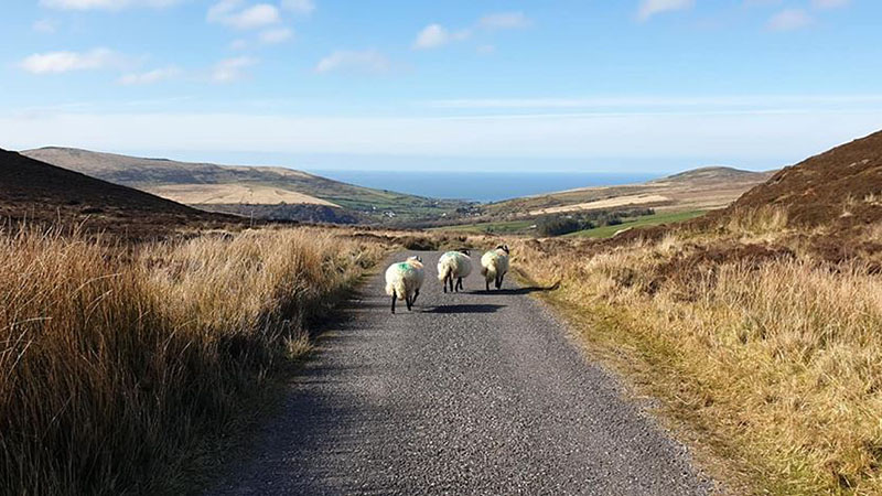 Rush hour in the Kerry hills