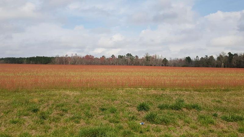 This red, rather stunning crop is in fact a weed called sour grass and is all over Georgia