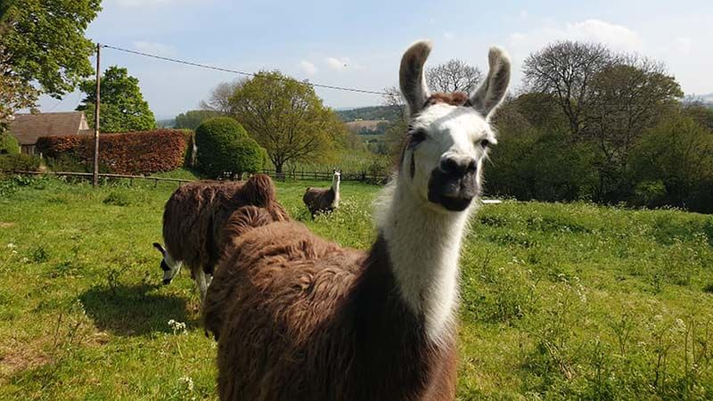 Llama farm near Northleach. They have terrific- 'Go ahead, punk, make my day!' expressions