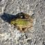 Daredevil, road jumping frog near the Austria-Slovakia border