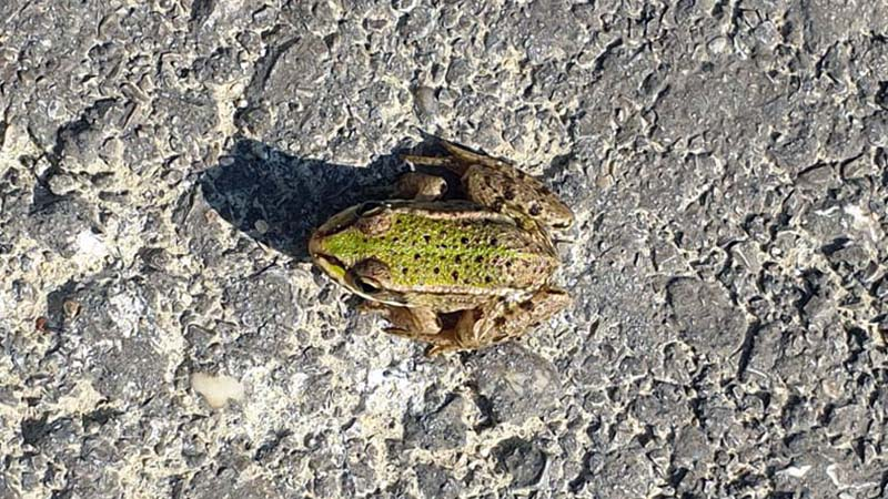 Daredevil, road jumping frog near the Austria-Slovakia border