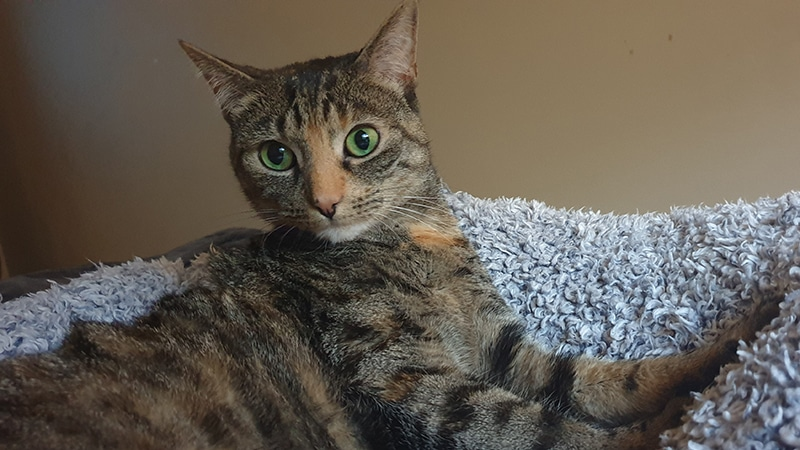 Sapphire the cat